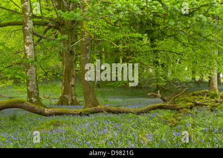Verdant spring leaves dance slowly in the breeze, as hazy golden hour light filters down through the tree canopy - Stock Image