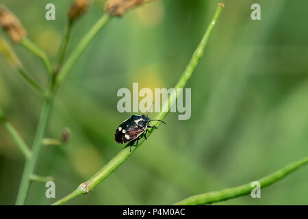 Black and white shield bug (Eurydema oleracea) also known as the crucifer shield bug, the cabbage bug or brassica bug, walking of a green plant stem - Stock Image
