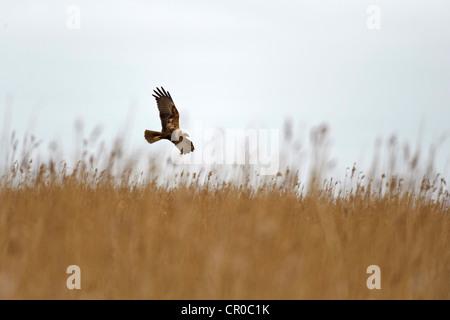 Marsh harrier (Cicus aeruginosus) adult female in flight over reedbed. North Norfolk, England. March. - Stock Image