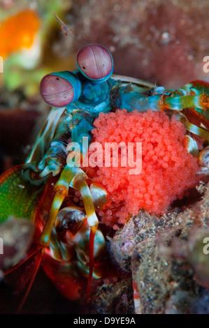 Close-up of a Peacock Mantis shrimp (Odontodactylus scyllarus) with eggs, Lembeh Strait, Sulawesi, Indonesia - Stock Image
