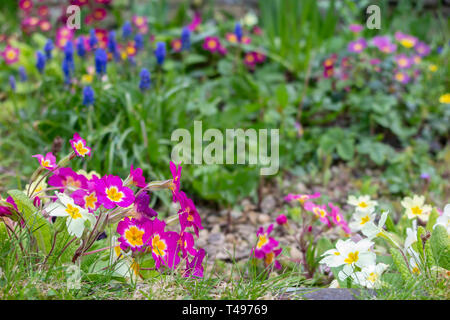 Spring flowers in a country garden - Stock Image