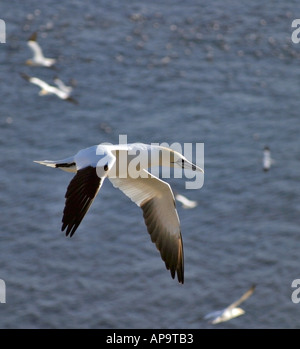 Northern Gannet(s) in flight over the Cape St Mary's Ecological Reserve, Cape St Mary's, Newfoundland, Atlantic Canada. - Stock Image