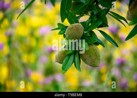 Young green almonds nuts riping on almond tree and colorful wild summer flowers close up - Stock Image