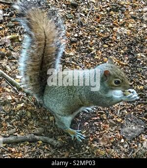 Close-up of a Grey squirrel eating a nut - Stock Image
