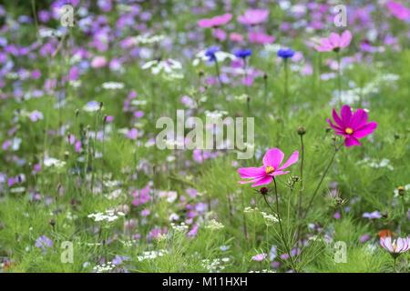 Summer meadow plants featuring Cosmos bipinnatus Sonata, August, Yorkshire, UK - Stock Image