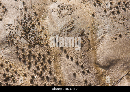 Ghost crabs and detritus balls - Stock Image