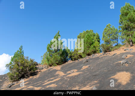 Pine trees growing at Llanos del Jable near El Pilar viewpoint, La Palma Island, Canarie - Stock Image