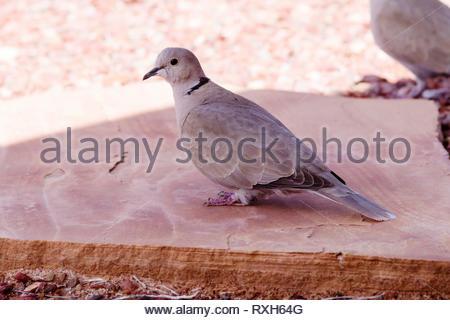 Eurasian Collared-Dove, Streptopelia decaocto, on ground in Arizona USA - Stock Image