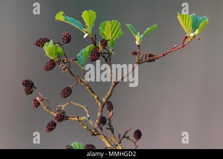 Alder (Alnus glutinosa) fresh leaves and fruit cones - Stock Image