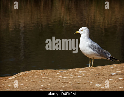 A California seagull, standing on shore, next to a pond. - Stock Image