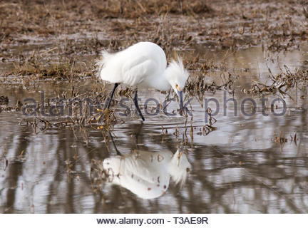 Snowy Egret, Egretta thula, hunting for food in shallow pond in Arizona USA - Stock Image