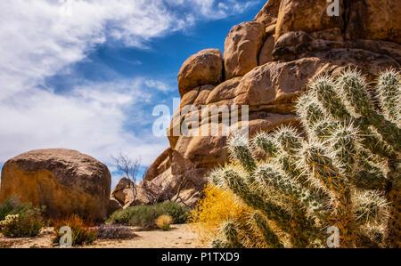 Cylindropuntia bigelovii and giant boulders in Joshua Tree National Park; California, United States of America - Stock Image