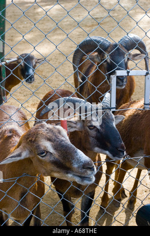 A herd of goats looking at the camera from behind a wire fence - Stock Image
