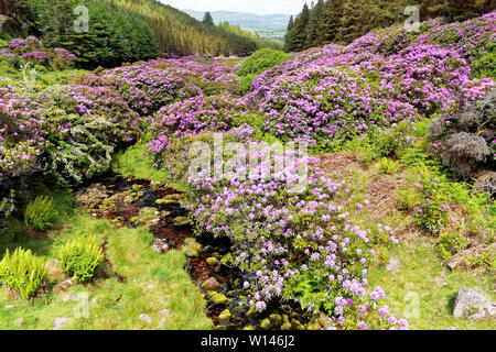 Beautiful countryside with blooming rhododendrons in Glenlough at the footstep of Knockmealdown Mountains,Ireland. - Stock Image