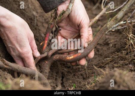 Wurzelernte, Wurzeln von Schlehe werdenn ausgegraben, Ernte von Schlehenwurzeln, Rinde von Schlehenwurzeln, Schlehenwurzel, Schlehenwurzel-Ernte, Schl - Stock Image