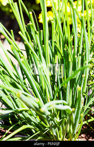 Chives is the common name of Allium schoenoprasum, an edible species of the Allium genus. chive plant. chive flowering, chive herb, herb, herbs plants - Stock Image
