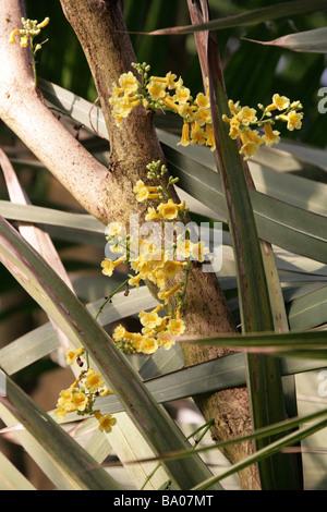 Ophiocolea floribunda, Bignoniaceae, Madagascar - Stock Image