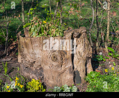 Daffodils Narcissus and spring flowers growing out of old tree trunk Regents Park, London UK - Stock Image