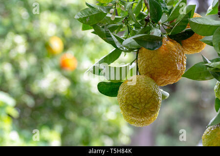 Citrus fruits of sour orange bergamot riping on  thee close up - Stock Image