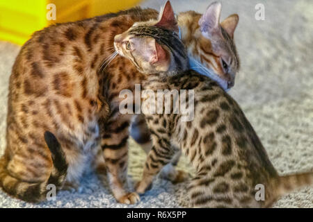 Female Bengal Cat mother grooming and cleaning kitten - Stock Image