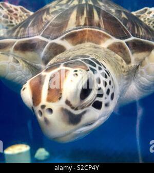 Juvenile turtle, Queensland, Australia - Stock Image
