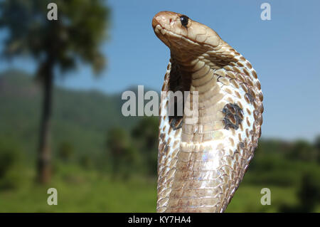 King Cobra, Naja naja, with flared hood surveys his territory in Tamil Nadu state, South India - Stock Image