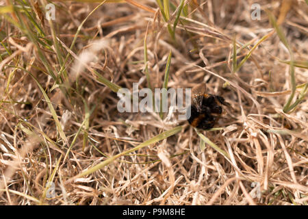 Poole, UK. 19th July 2018. The heatwave with very dry weather continues in the UK. Grass is turned brown and a bumble-bee is found dead. Credit: Thomas Faull/Alamy Live News - Stock Image