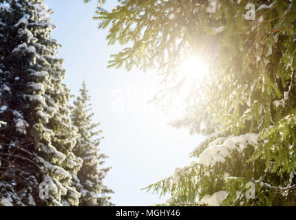 golden warm sunlight rays shining through the branches of  lush evergreen pine trees in this winter woodland forest dreamscape with copyspace area for - Stock Image