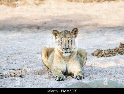 Lioness looks at the camera - Stock Image