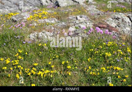 Birdsfoot Trefoil (Lotus corniculatus) Spring Squill (Scilla verna) Thrift (Armeria maritima) flowering on a coastal rocky habitat. Anglesey Wales UK - Stock Image