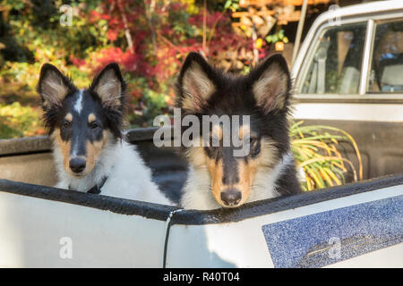 Bothell, Washington State, USA. Two fifteen week old Rough Collie puppies waiting in the back of a pickup truck. (PR) - Stock Image