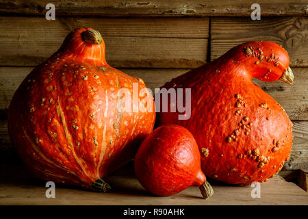 Close up of Red Kuri and two Orange Hubbard pumpkins on wooden shelf. - Stock Image