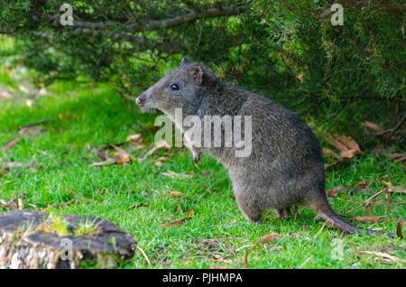 a long nosed potoroo, tasmania, australia - Stock Image