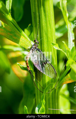 A mayfly at rest on riverside vegetation with its wings catching the light and tail extending out and away - Stock Image