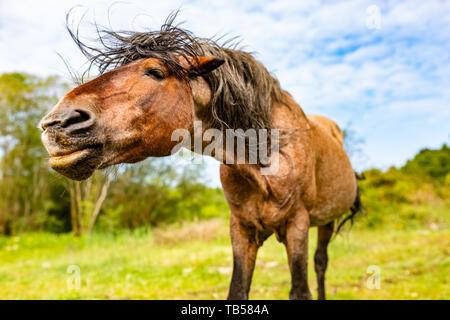 Animal portrait of brown old wild pony in landscape orientation taken in Dorset, England. - Stock Image