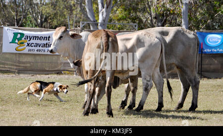 CATTLE DOGS AT WORK ROUNDING UP CATTLE - Stock Image