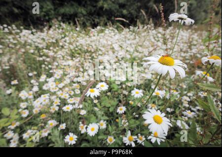 Leucanthemum maximum, Shasta Daisy, Wales, UK - Stock Image