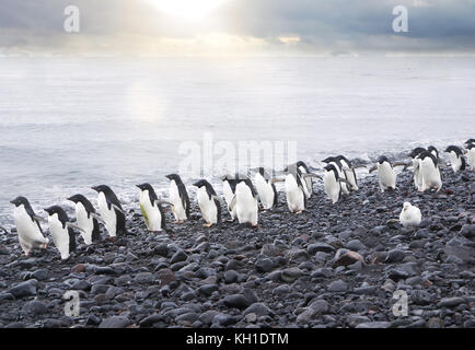 A line of cute Adelie penguins (pygoscelis adeliae) walking along the edge of the Weddell Sea on a pebble beach - Stock Image