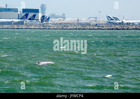 Indo-Pacific Humpback Dolphin (Sousa chinensis) in the waters to be reclaimed as the third runway of the Hong Kong Airport. - Stock Image