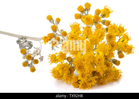 silver ragwort isolated on whiote background - Stock Image