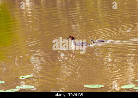 A Great Crested Grebe podiceps cristatus on the sandy waters with lily pads. - Stock Image