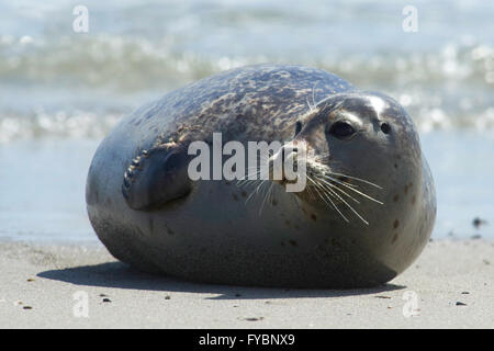 Close up of gray seal (Halichoerus grypus) at the beach at Dune, Helgoland, Germany - Stock Image