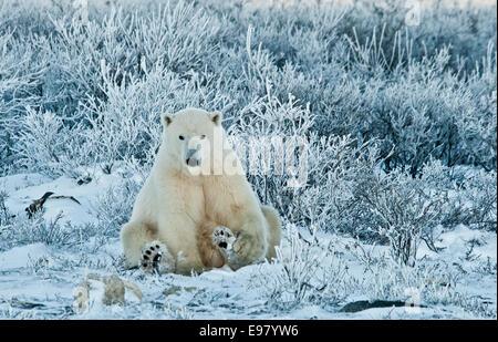 Polar Bear, Ursus maritimus, sitting among wiilows in the frost, near Hudson Bay, Cape Churchill, Manitoba, Canada - Stock Image