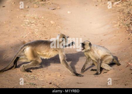 Two young wild Hanuman Langur Monkeys or Gray Langurs, Semnopithecus, play-fighting, showing teeth, Bankhavgarh - Stock Image