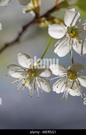 Close up of cherry blossoms in spring - Stock Image