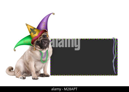 cute Mardi gras carnival pug puppy dog sitting down with harlequin jester hat and blackboard sign,  isolated on - Stock Image