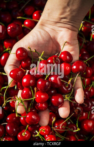 closeup of a young caucasian man outdoors with a handful of ripe cherries in his hand, freshly collected on an organic orchard - Stock Image