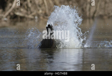American beaver tail slap warning splash swimming Ohio river - Stock Image