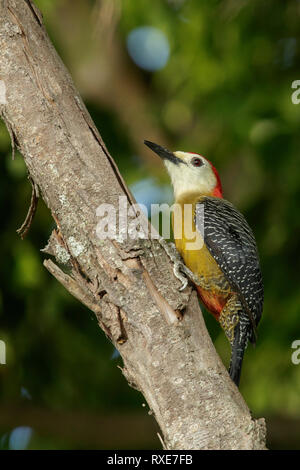 Jamaican Woodpecker (Melanerpes radiolatus) perched on a branch in Jamaica in the Caribbean. - Stock Image