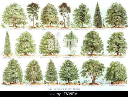 Lithograph Our British Forest trees circa 1885 - Stock Image